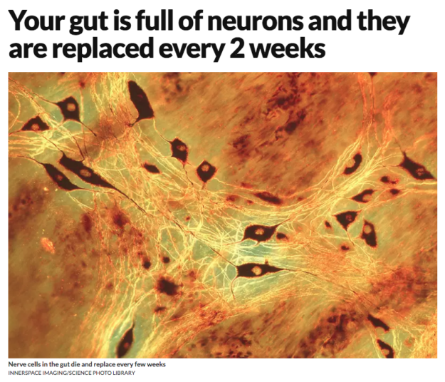 Your gut is full of neurons and they are replaced every 2 weeks